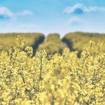 pole-rolnictwo-rzepak