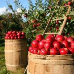 sady-jablka