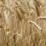 zboze-pole-rolnictwo